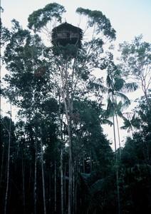 Papua Kombai– Tree people